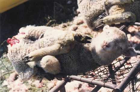 AterImber.com - The Veg Life - Vegan Tips - Non-Vegan Ingredients in Non-Food - Mulesing - animal cruelty, wool, what's wrong with wool, mulsing, sheep, tail-cutting
